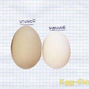 Как отличить утиное яйцо от куриного: состав и внешний вид
