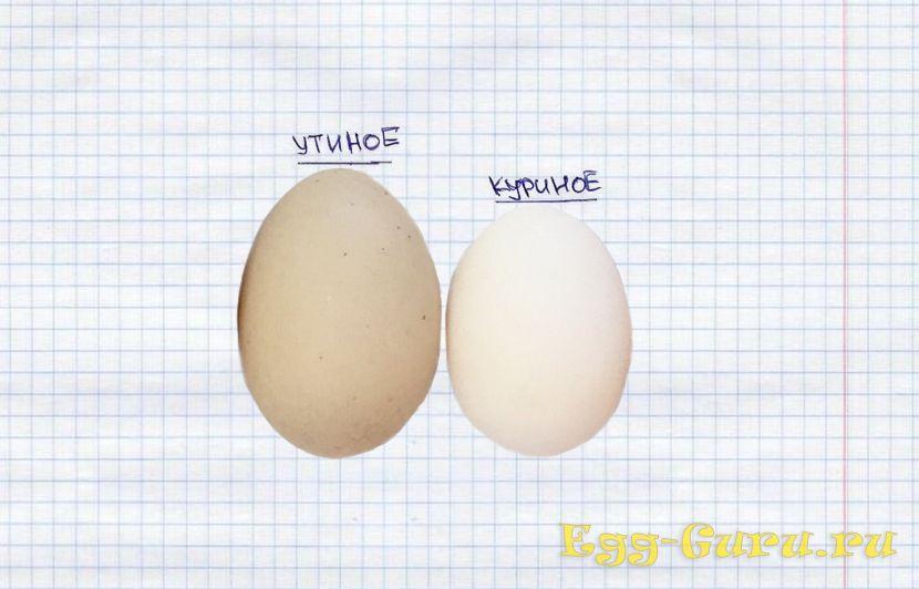 Утиное и куриное яйцо рядом для сравнения
