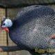 Какой вес у яйца цесарки? Почему именно её называют «чудо-птицей»?