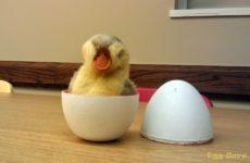 Сколько весит утиное яйцо?