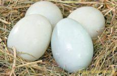 Утиные яйца: польза и вред для человека