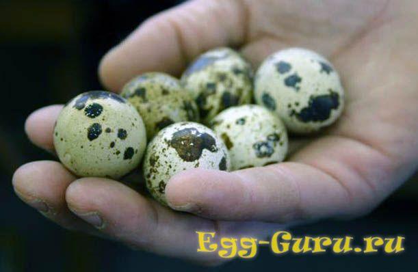Польза яичной скорлупы перепелов