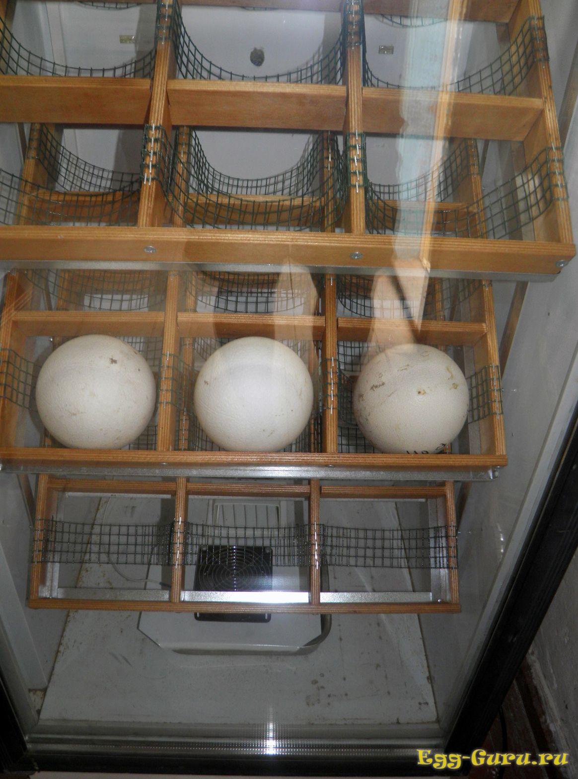 страусиные яйца - инкубация