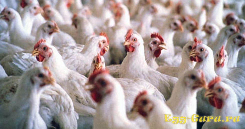 Курицы, получившие гормоны роста