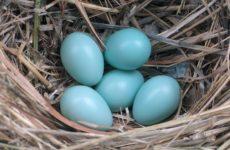 Голубые яйца куриные: кто несет?