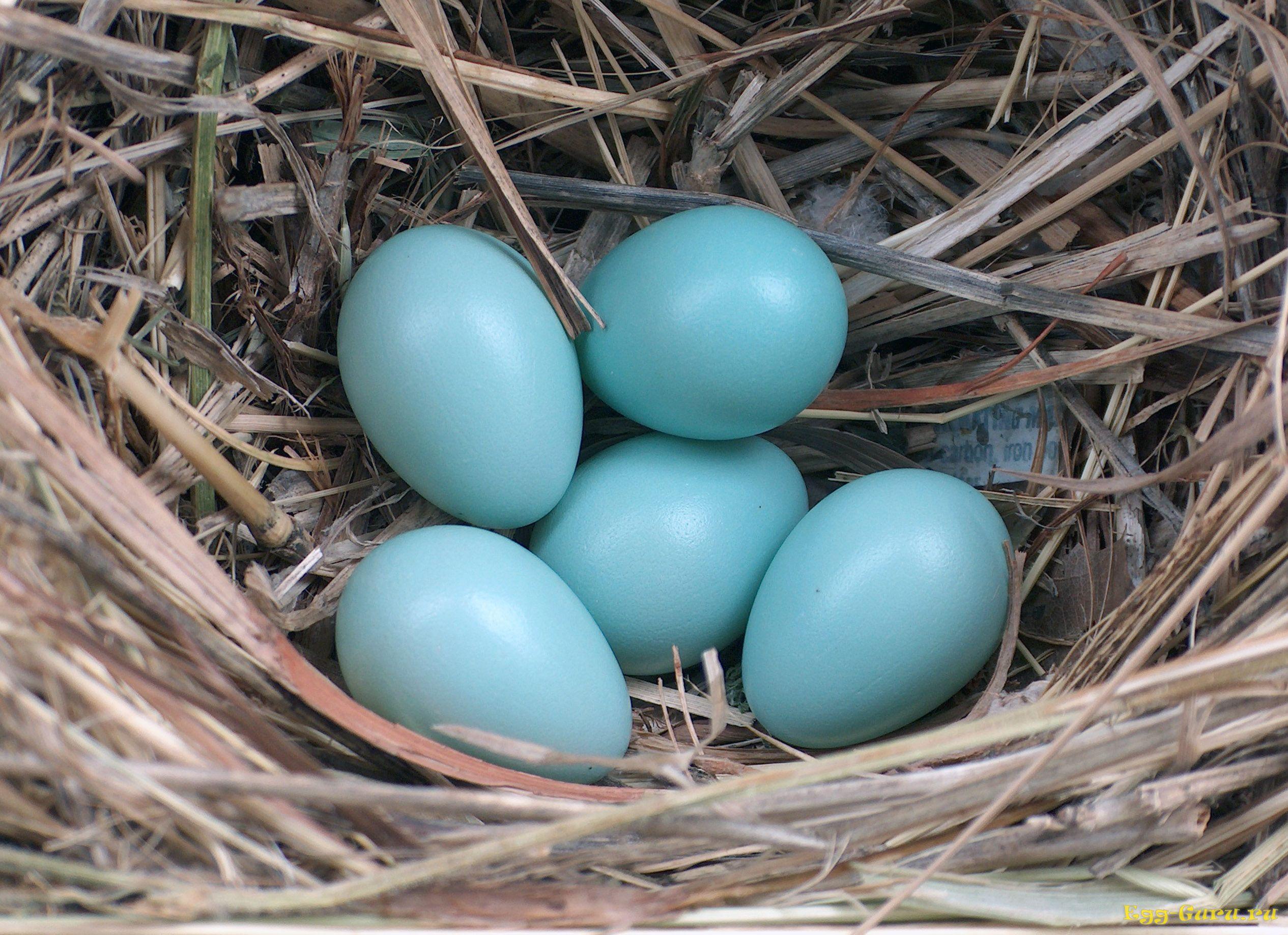 Яйца голубого цвета в насесте
