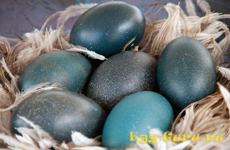 яйцо страуса эму