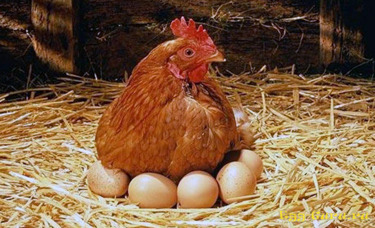 Зрелые куры несут большие яйца