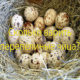 Сколько варить перепелиные яйца?