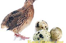 Калорийность перепелиного яйца