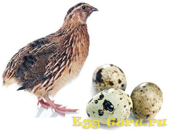 калорийности перепелиных яиц
