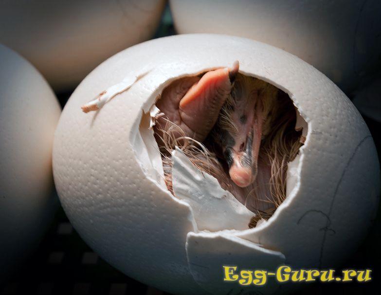 страусиные яйца инкубационные