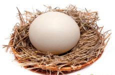 Сколько весит страусиное яйцо