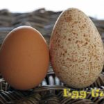 Сравнение яйца индюшки и куриного