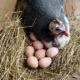 Едят ли яйца цесарок