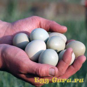 Фазанье яйцо — коротко о главном