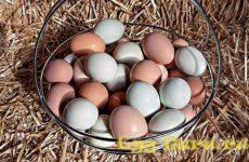 Как выглядят яйца цесарки